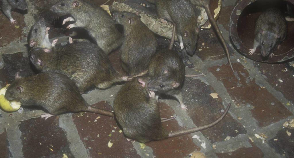 уничтожение крыс в Сосновом Бору